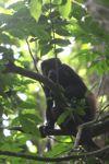 Howler monkey [panama_0310]