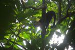 White-throated capuchin (Cebus capucinus) [panama_0312]