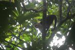White-throated capuchin (Cebus capucinus) [panama_0313]