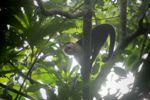 White-throated capuchin (Cebus capucinus) [panama_0314]