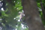 White-throated capuchin (Cebus capucinus) [panama_0315]