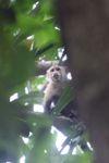 White-throated capuchin (Cebus capucinus) [panama_0316]