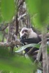 White-throated capuchin (Cebus capucinus) [panama_0317]