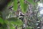 White-throated capuchin (Cebus capucinus) [panama_0318]