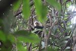 White-throated capuchin (Cebus capucinus) [panama_0320]