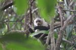White-throated capuchin (Cebus capucinus) [panama_0321]