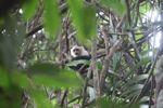 White-throated capuchin (Cebus capucinus) [panama_0322]