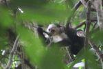 White-throated capuchin (Cebus capucinus) [panama_0323]