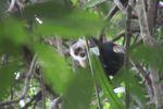 White-throated capuchin (Cebus capucinus) [panama_0324]
