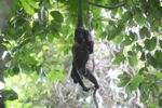 Holwer monkeys swinging from a vine [panama_0327]