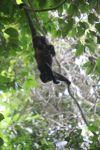 Holwer monkeys swinging from a vine [panama_0328]