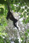 Holwer monkeys swinging from a vine [panama_0330]