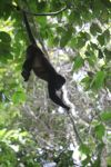 Holwer monkeys swinging from a vine [panama_0332]