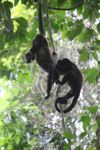 Holwer monkeys swinging from a vine [panama_0334]