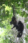 Holwer monkeys swinging from a vine [panama_0335]