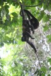 Holwer monkeys swinging from a vine [panama_0337]