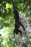 Holwer monkeys swinging from a vine [panama_0338]