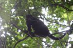 Howler monkey [panama_0340]