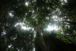 Looking up the trunk of a rainforest tree at the canopy