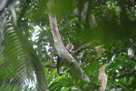 White-throated capuchin (Cebus capucinus) [panama_0361]