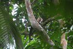White-throated capuchin (Cebus capucinus) [panama_0362]