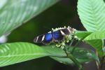 Postman butterfly (Heliconius erato) [panama_0367]