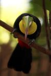 Swainson's toucan