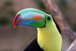 Swainson's toucan [panama_0388]