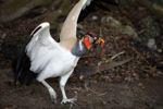 King vulture (captive) [panama_0397]
