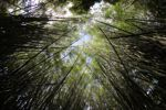 Bamboo grove [panama_0421]