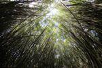 Bamboo grove [panama_0422]