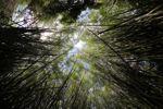 Bamboo grove [panama_0423]