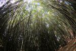 Bamboo grove [panama_0424]