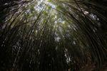 Bamboo grove [panama_0425]
