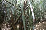 Bamboo grove [panama_0426]