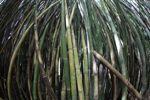 Bamboo grove [panama_0427]
