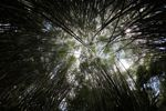 Bamboo grove [panama_0428]