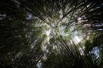 Bamboo grove [panama_0429]