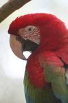 Scarlet macaw [panama_0432]