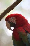 Scarlet macaw [panama_0434]