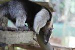 Northern Tamandua (Tamandua mexicana) [panama_0439]