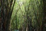 Bamboo grove [panama_0442]
