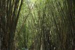 Bamboo grove [panama_0443]