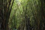Bamboo grove [panama_0444]