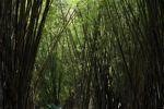 Bamboo grove [panama_0445]