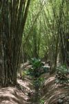 Bamboo grove [panama_0446]