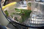 Atelopus certus at the Panama Amphibian Rescue Project