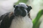 Cotton-top Tamarin [panama_0474]