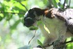 Cottontop tamarin (Saguinus oedipus) [panama_0477]