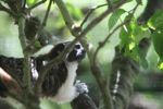 Cotton-top Tamarin [panama_0478]